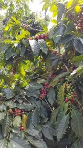 Berries growing on a Coffea plant at Filadelfia Coffee Plantation, Guatemala