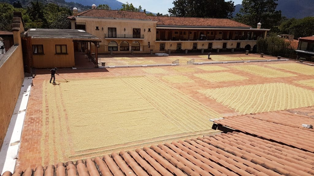 Coffee beans drying in the sun of the courtyard at Filadelfia Coffee Plantation Guatemala