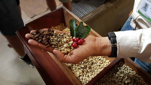 Beans from every stage of the life cycle of coffee at Filadelfia plantation, Guatemala