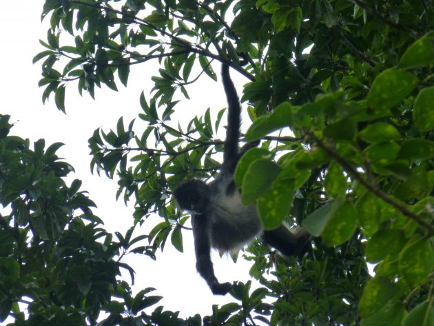 Spider Monkey hanging by one arm from tree in the jungle at Tikal