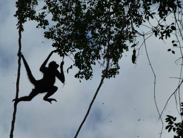 Sillhouette of Spider Monkey travelling between trees in the jungle at Tikal