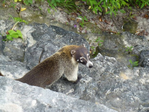 A Coati, native to Guatemala, sniffing around for food at teh tope of Temple IV at Tikal. It somewhat resembles a large brown badger.