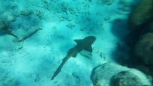 Underwater photo of Nurse Shark on the ocean floor