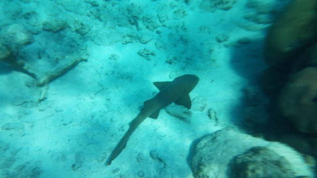Underwater photo of Nurse Shark on the ocean floor