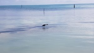 Wading bird at Caye Caulker, Belize