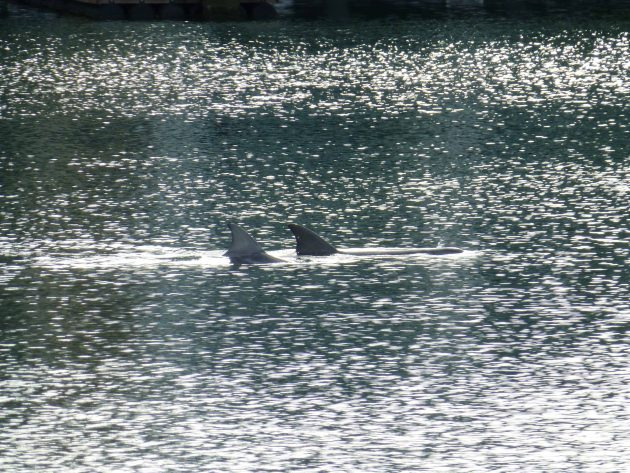 Pair of dolphins in Glenelg Marina
