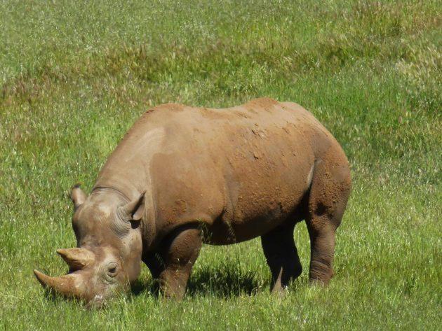 Black Rhino at Monarto Zoo, Adelaide