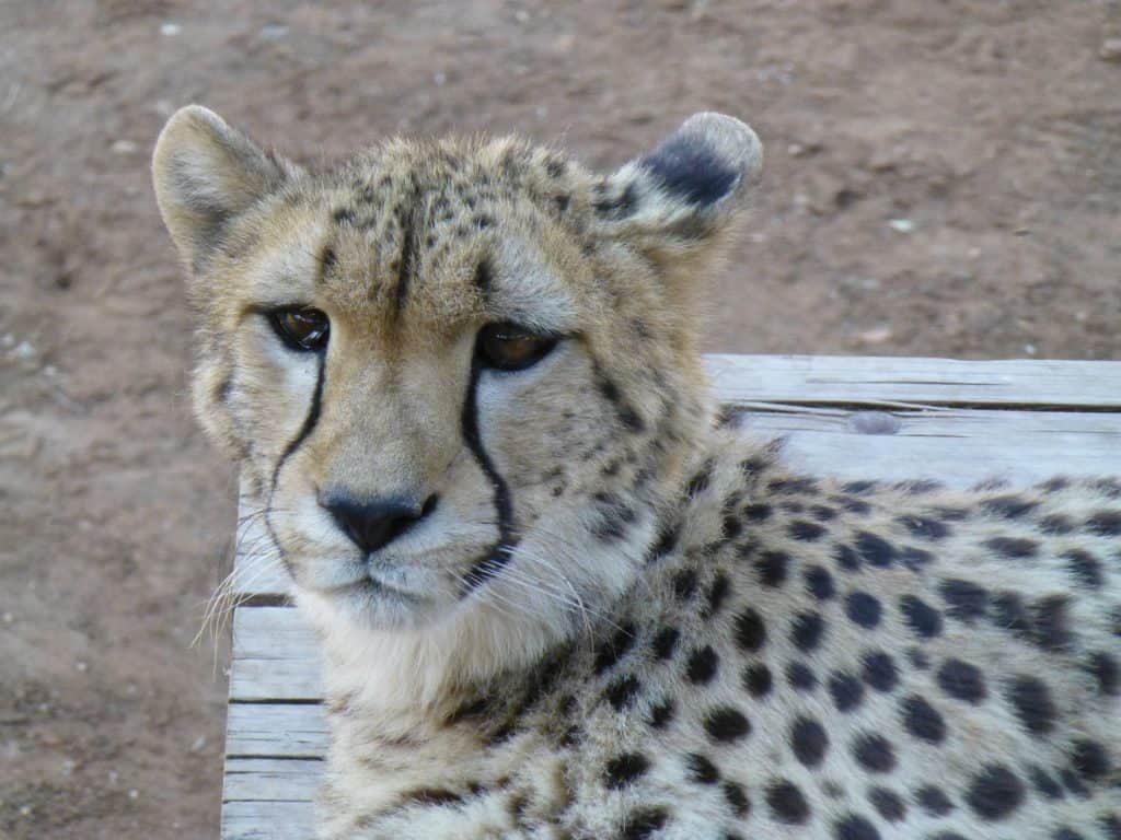 Hand reared Cheetah at Monarto Zoo, Adelaide