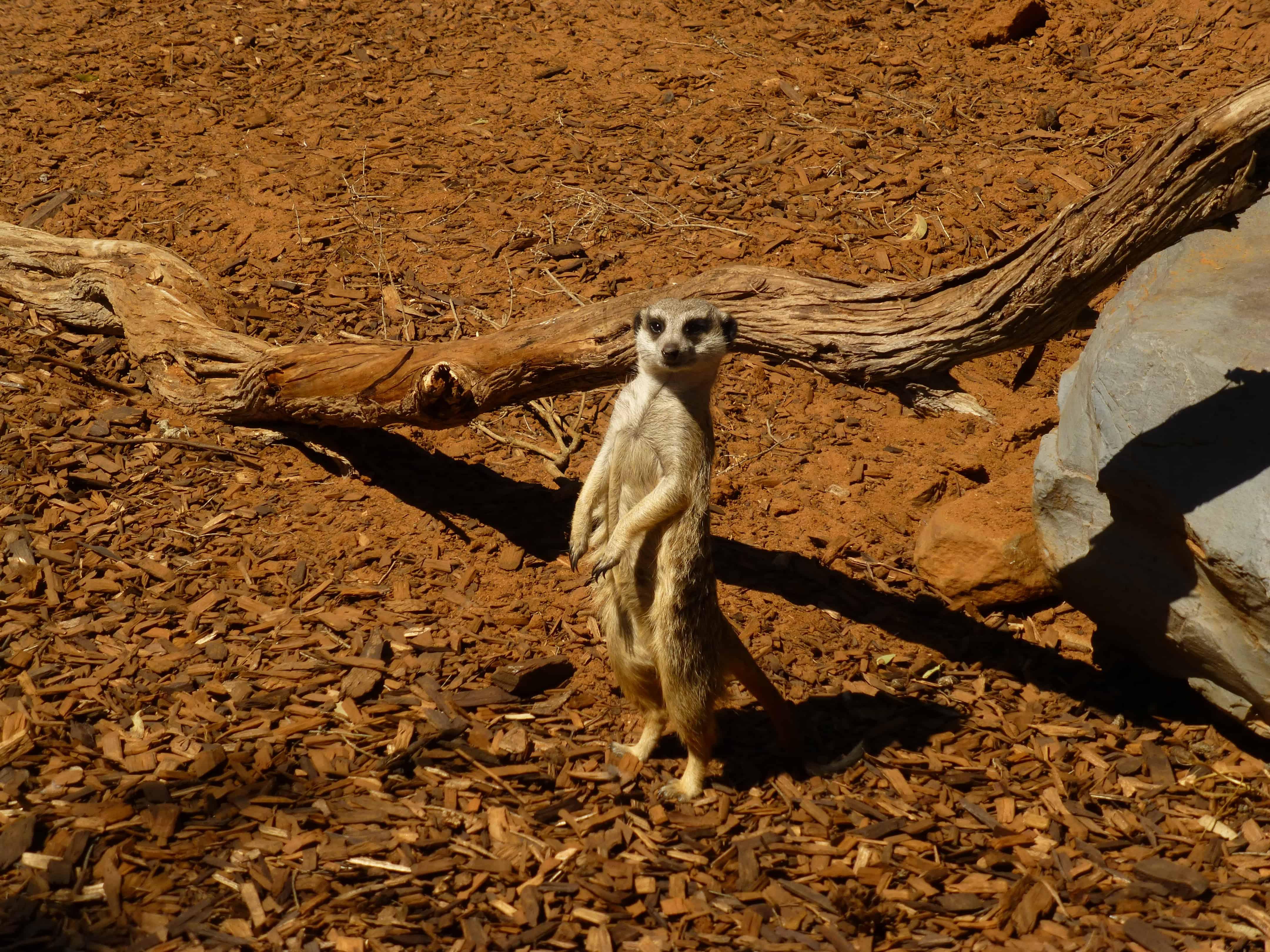 Monarto Zoo Meerkat in watchful stance