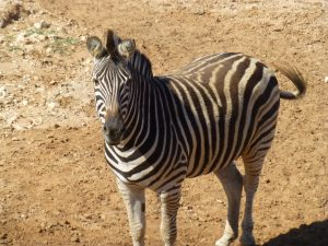 Zebra in Giraffe enclosure at Monarto Zoo