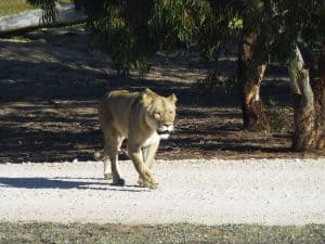 Lioness at Monarto Zoo