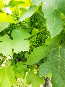 Grapes on a wine in the Hunter Valley