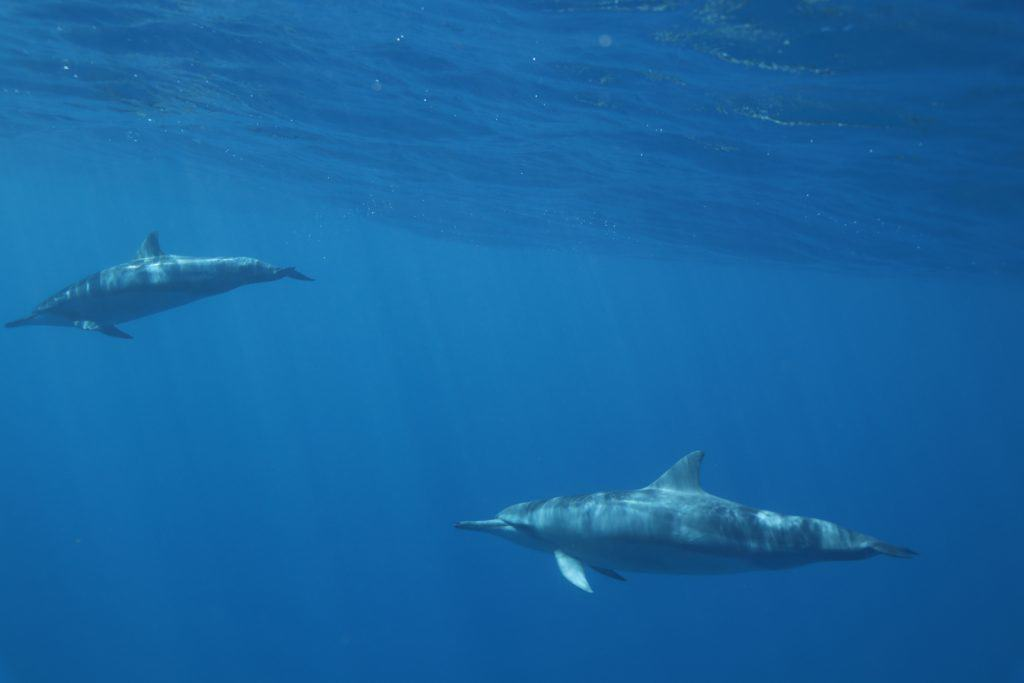 Hawaiian Spinner Dolphins swimming in Ocean. Photo courtesy of Dolphins and You