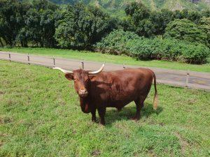 Dakota, resident of Kualoa Ranch Oahu
