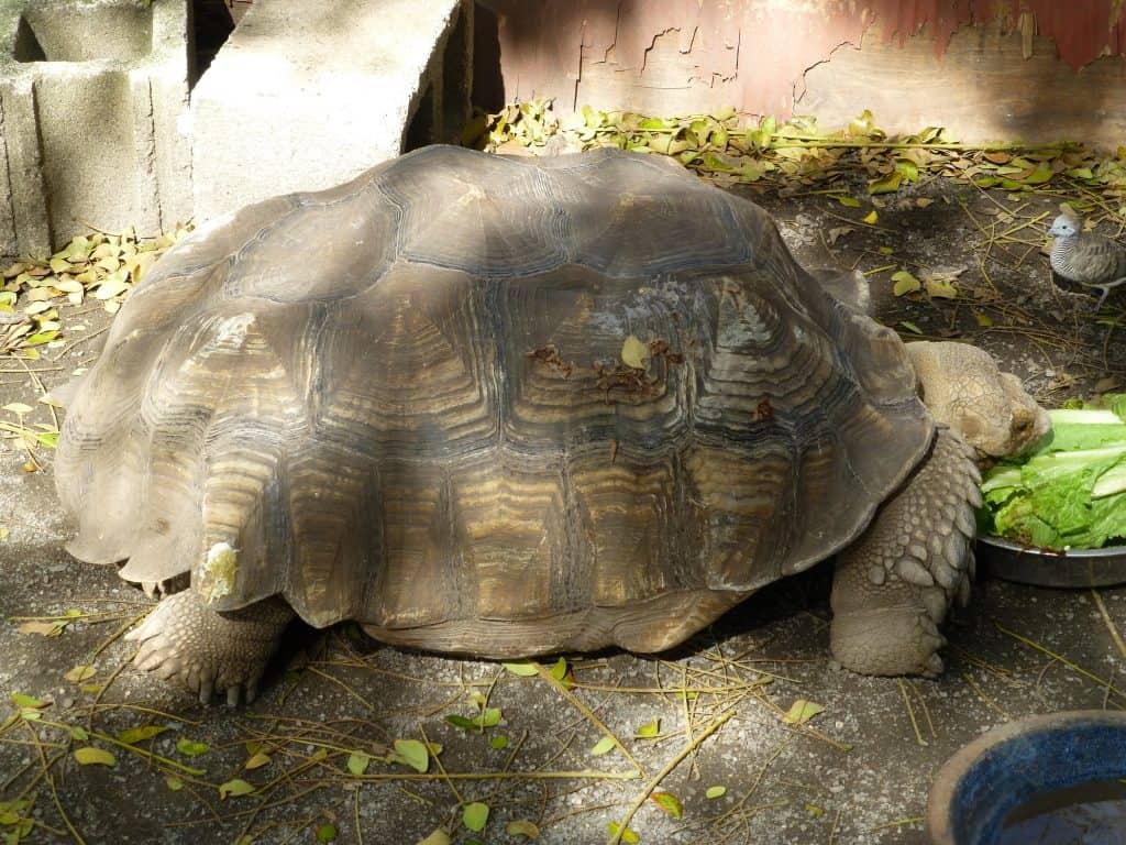 Resident turtle at Kualoa Ranch Oahu