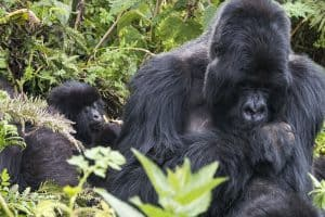 Silverback Gorillas in Rwanda from Carly's adventures afar