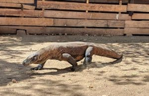 Komodo Dragon in Komodo Dragon National Park Indonesia by Jackie and Justin from Life of Doing