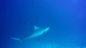Tiger Shark at The Maldives by Steffi from Beach Bum Adventure