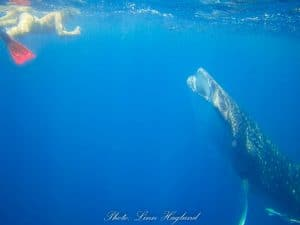 Linn from Brainy Backpackers swimming with a Whale Shark in Madagascar