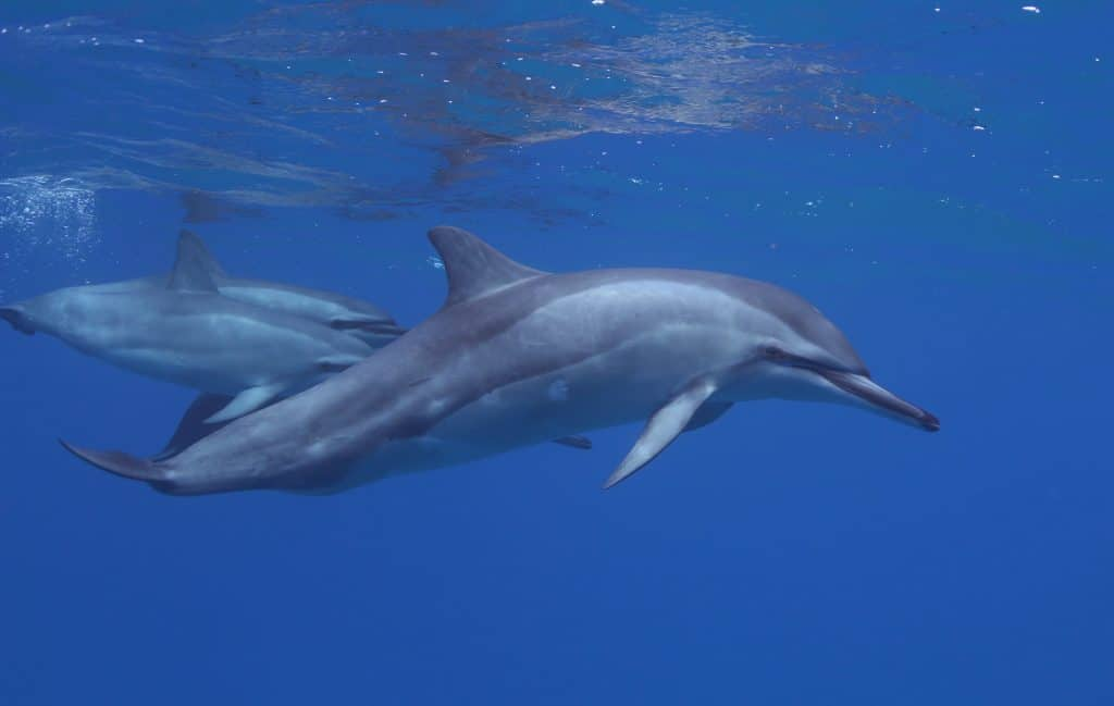 Hawaiian Spinner Dolphins in Oahu Hawaii, courtesy of Dolphins and You