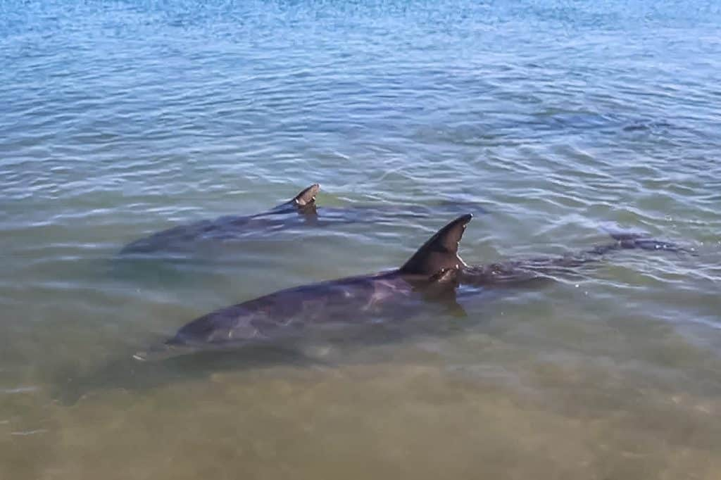 Dolphins at Monkey Mia. Courtesy of The World is my Playground