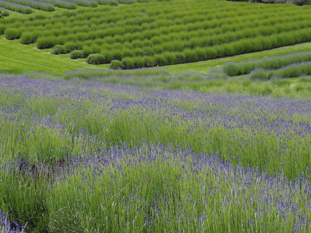 Lavender fields at the Wanaka Lavender Farm