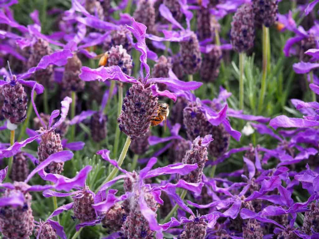 Close up of bee on lavender