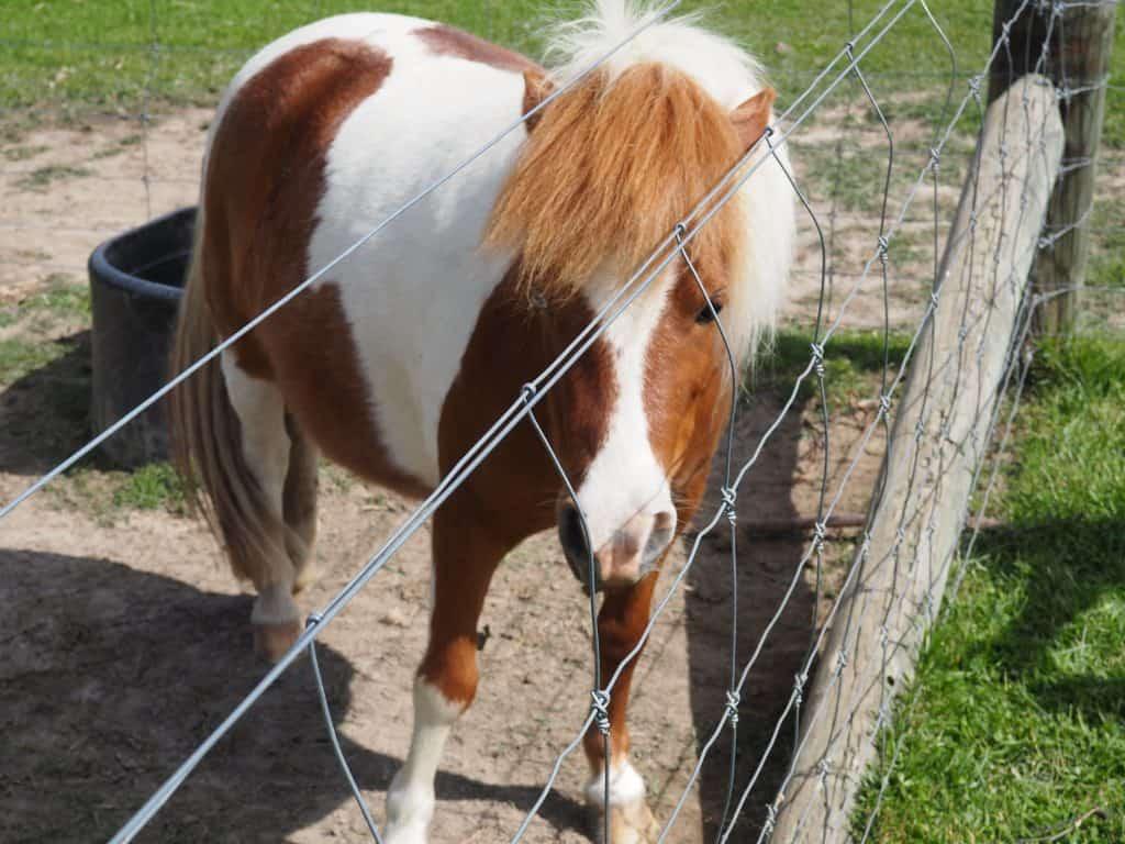 Shetland pony at the Wanaka Lavender farm