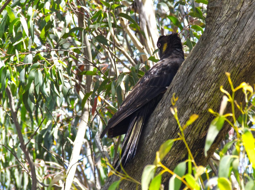 Image of a Yellow-Tailed Black Cockatoo perched on a tree branch with head turned looking back
