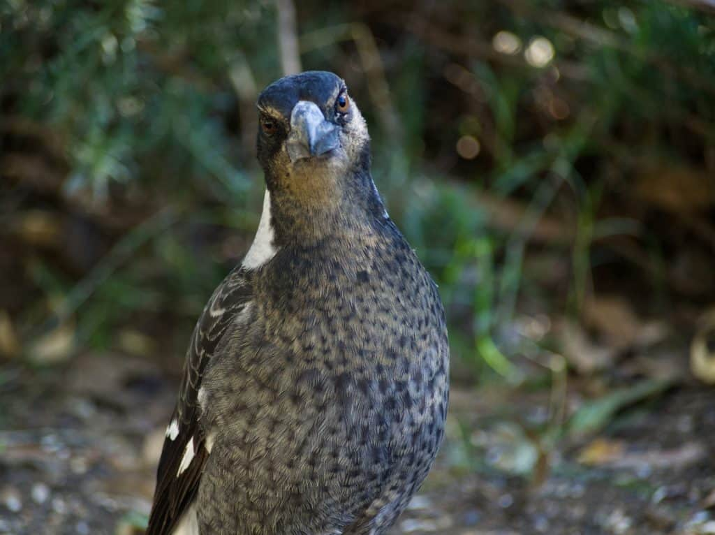 Juvenile Magpie in Blue Mountains backyard
