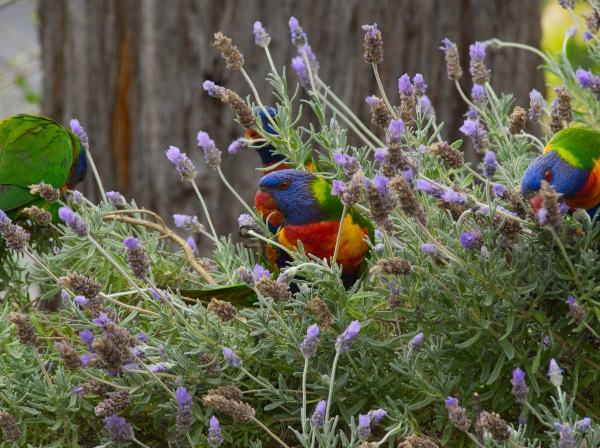 Four Rainbow Lorikeets perched in a Lavender bush in the Blue Mountains, Austraila