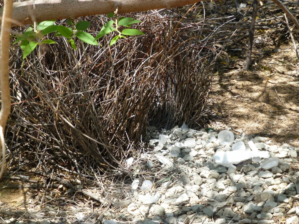 A Bowerbirds bower in the Northern Territory. This species collects white things