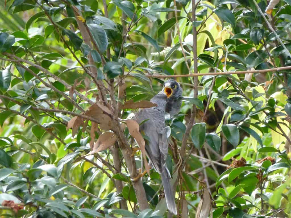 Noisy Mynah adult feeding chick in Blue Mountains backyard