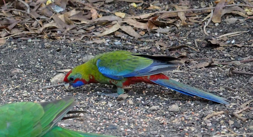 Juvenile Crimson Rosella in Blue Moutains backyard