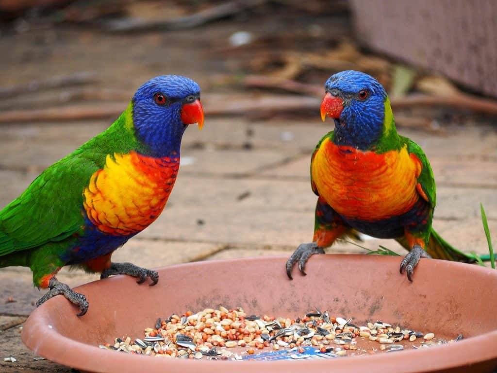Pair of Rainbow Lorikeets photographed in a Blue Mountains backyard