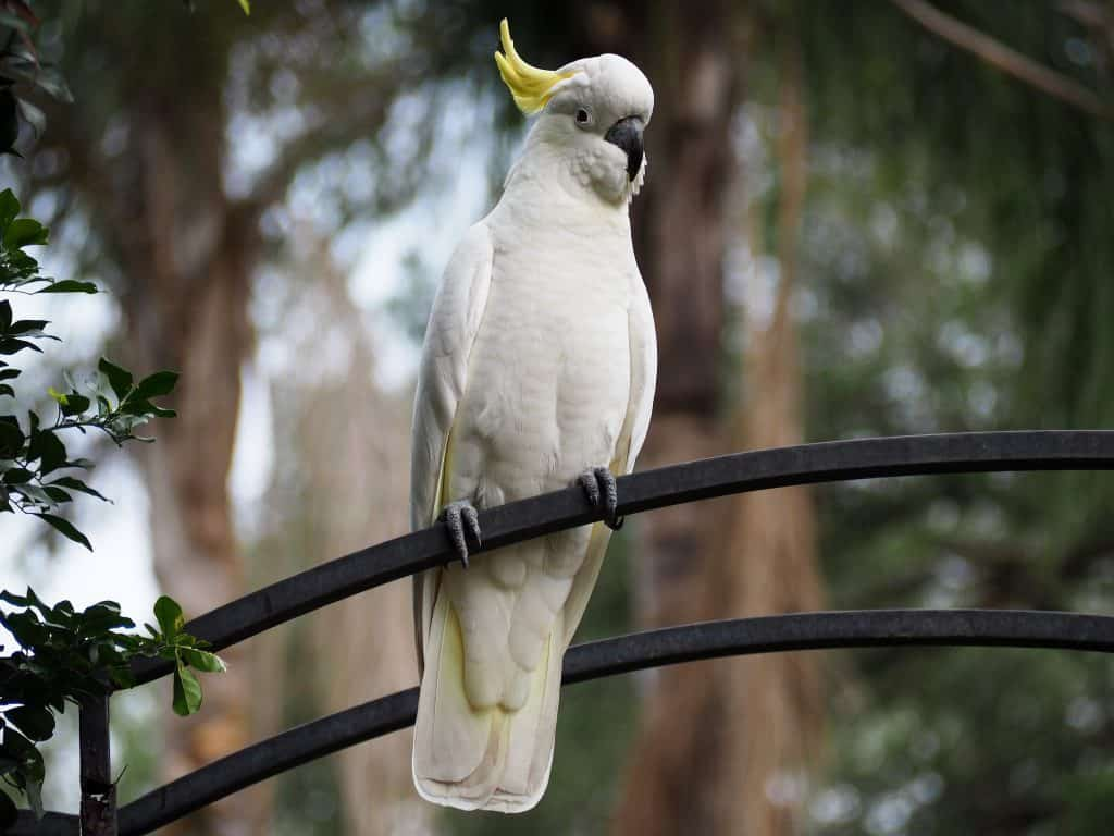 Sulfur Crested Cockatoo in Blue Mountains backyard