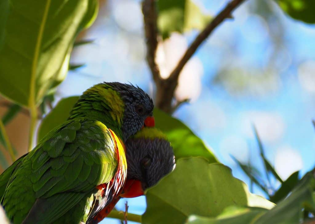 Pair of Rainbow Lorikeets preening each other in Blue Mountains backyard