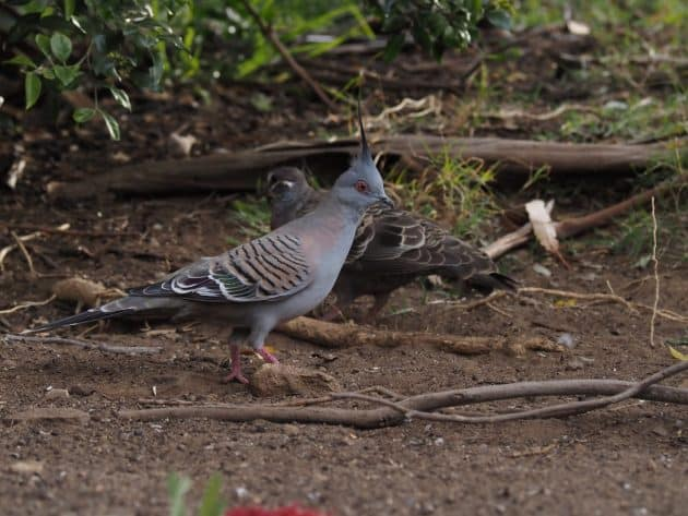 Crested Pigeon with a Common Bronzewing in Blue Mountains
