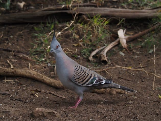 Crested Pigeon in a Blue Mountains backyard