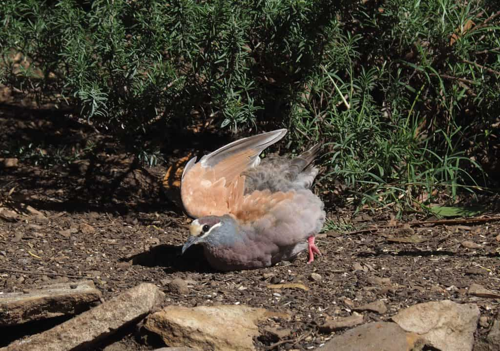 Male Bronzewing sunnig himself in Blue Mountains backyard
