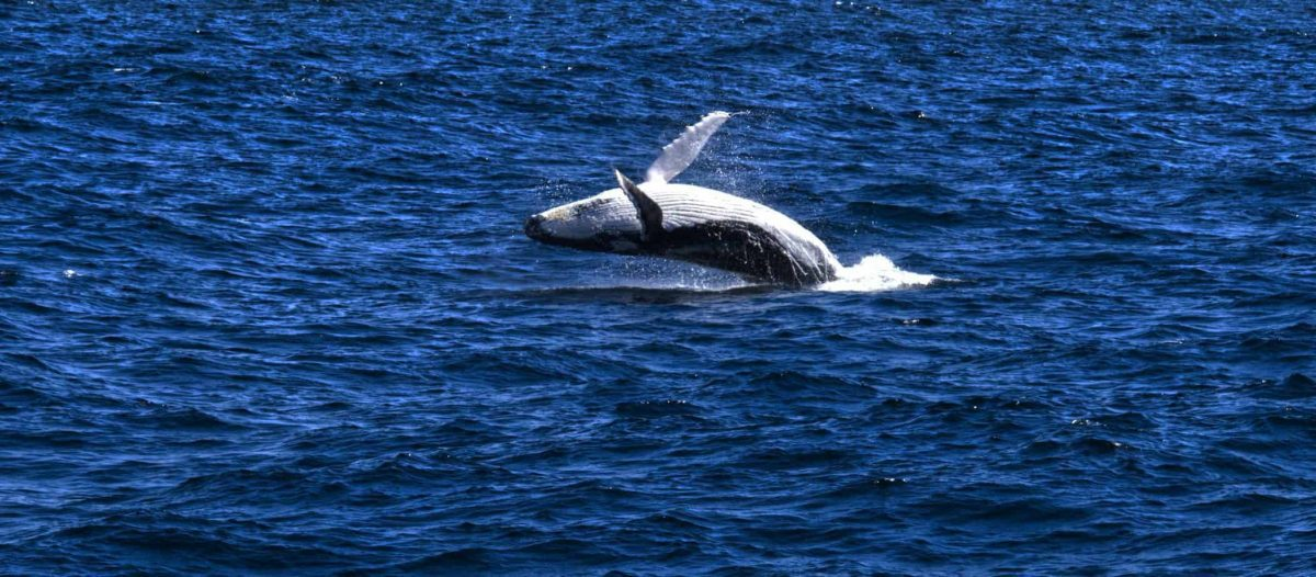 Humpback Whale calf breaching from the ocean off teh coast of Sydney. Calf is parallel to water with belly and flippers towards the sky
