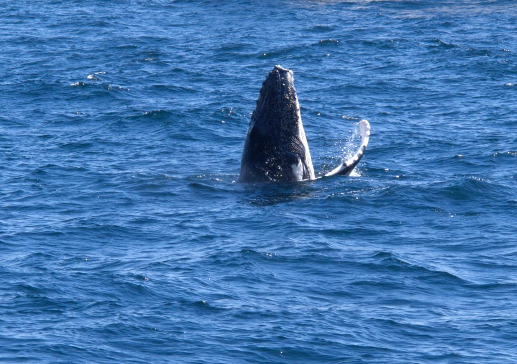 A Humpback Whale calf poking its heap out of the water off the Sydney coastline