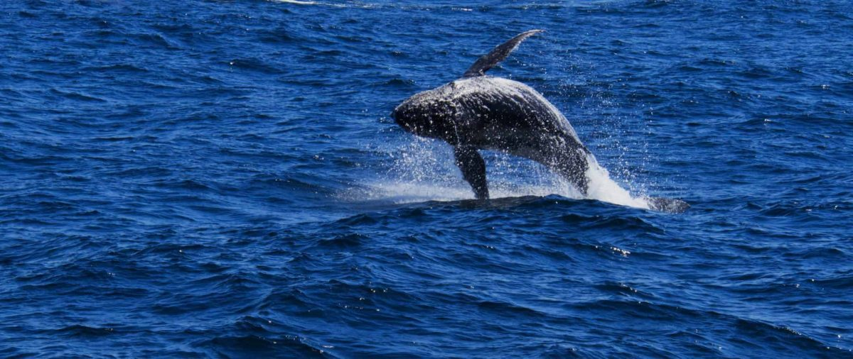 a Humpback Whale calf leaping out of the ocean off the coast of Sydney. the Whale's back is shown parallel to the water