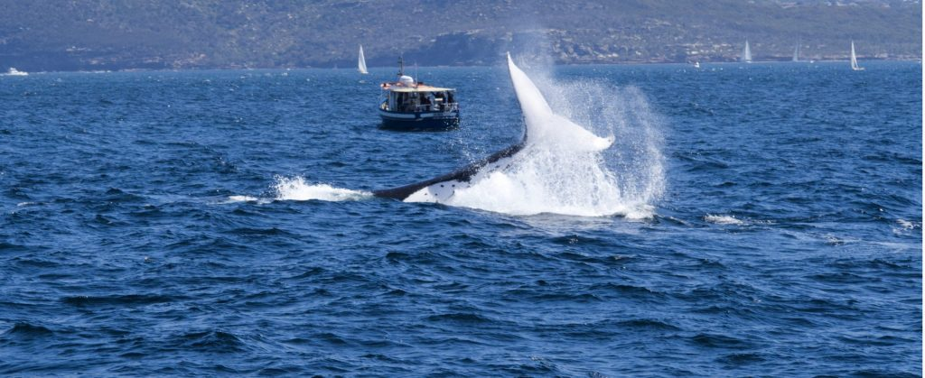 Humpack Whale bringing tail down on water off the Sydney coastline