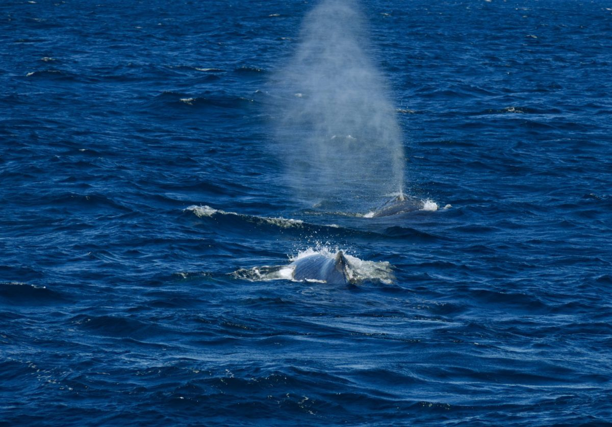 Two Humpback Whales with backs surfaced in the waters off the Sydney coast, one blowing water from blowhole