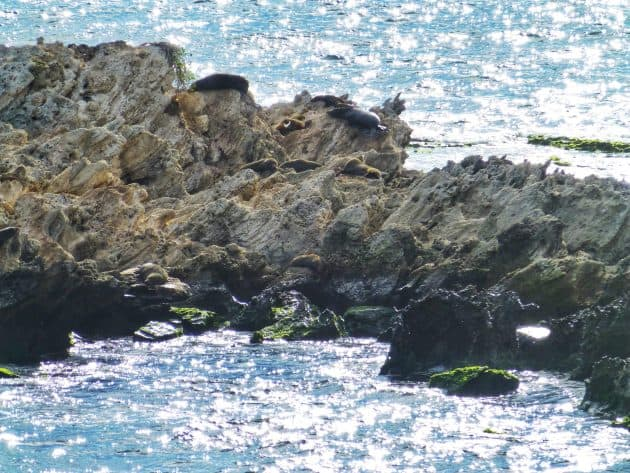 New Zealand Fur Seals in the sun on Cathedral Rocks at Rottnest Island
