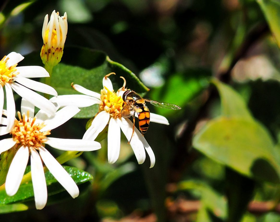Close up image of Hoverfly landed on a small white daisy in the Blue Mountains Australia