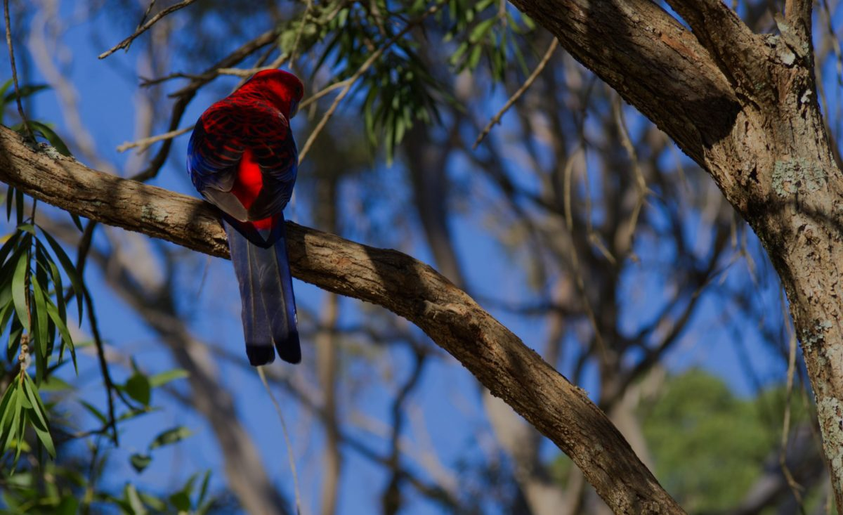 Crimson Rosella perched with its back to camera in an Australian Native tree in the Blue Mountains