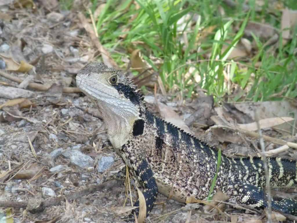 An Eastern Water Dragon strikes a pose at Jenolan Caves in the Blue Mountains