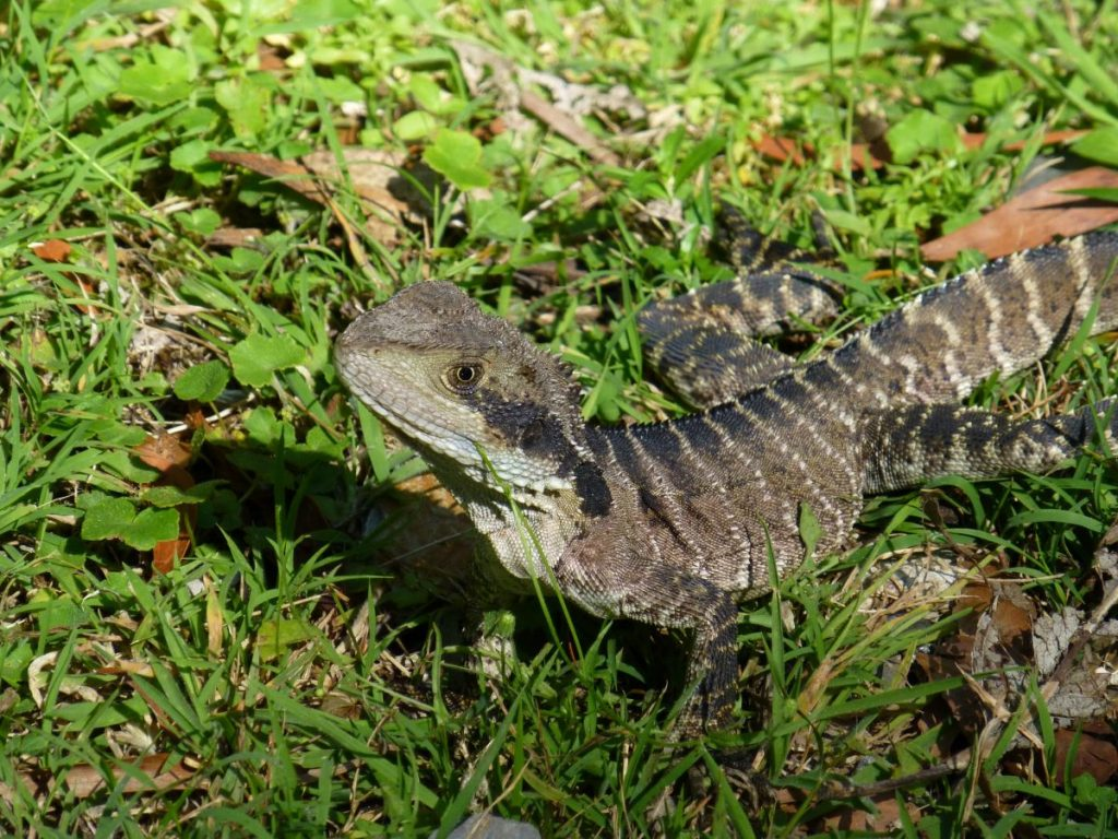 An Eastern Water Dragon on the grass at Jenolan Caves in the Blue Mountains